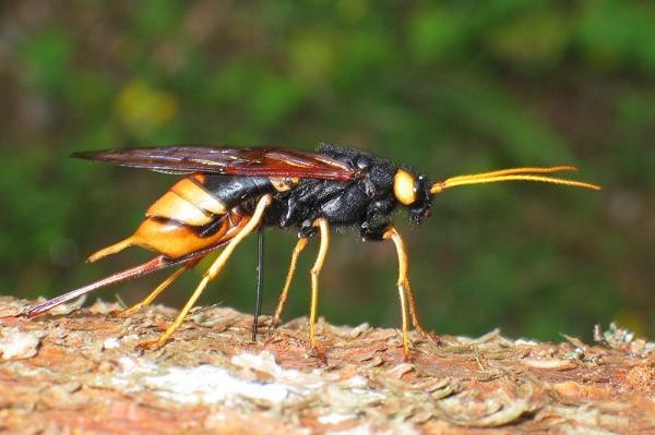 7 insectos que comen madera - Avispas de la madera o Urocerus gigas