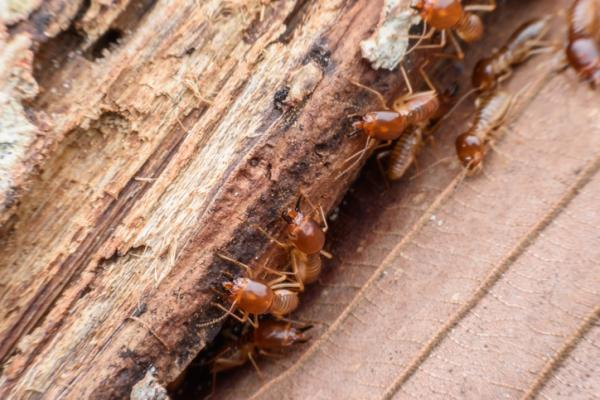 7 insectos que comen madera - Termitas