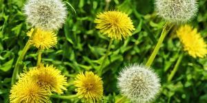 Cómo es la planta diente de león y para qué sirve