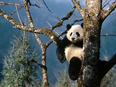 ¿El oso panda se extingue?