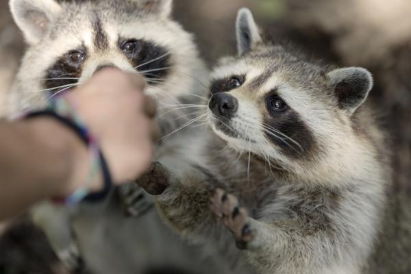 ¿Se puede tener un mapache como mascota? - El abandono de mapaches también es un problema ecológico