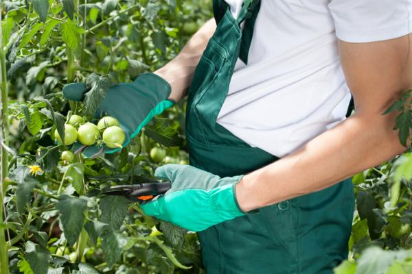 Cómo podar tomates - Cuándo podar tomates