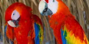 Por qué la guacamaya está en peligro de extinción