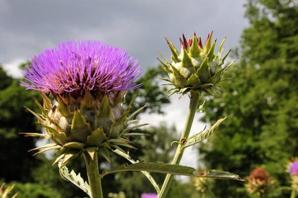 Qué son las brácteas de una flor, sus características y ejemplos - Características de las brácteas