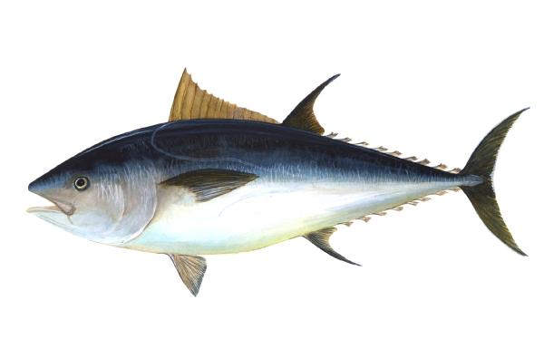 Diferencia entre bonito y atún rojo - Atún rojo, atún claro y bonito del norte