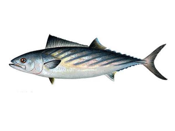 Diferencia entre bonito y atún rojo - El bonito