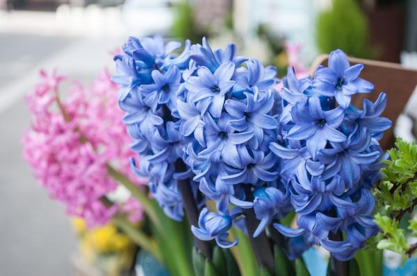 Cuidados de los jacintos - Cuándo florecen los jacintos