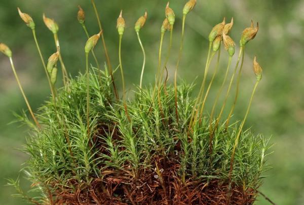 Tipos de musgos - Polytrichopsida