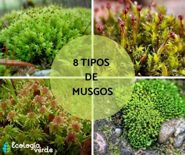 Tipos de musgos