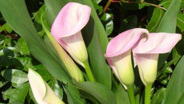 Plantas de interior ornamentales - Cala