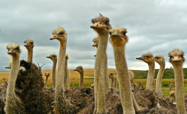 Animales que no duermen - El avestruz