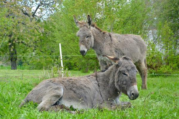 Animales que no duermen - Los burros