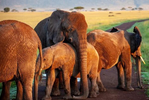 Animales que no duermen - Los elefantes