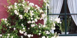 Rosales trepadores: cuidados y poda