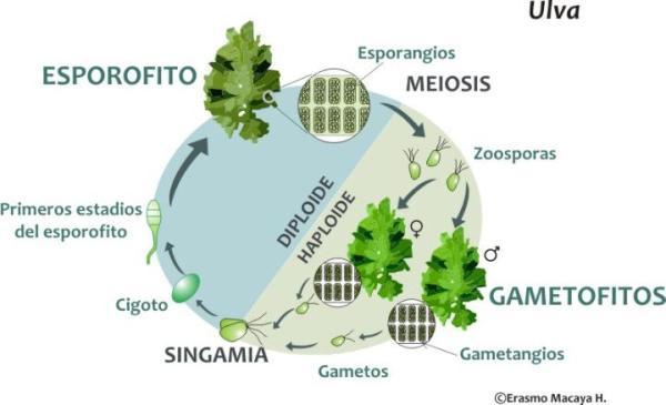 Reproducción de las algas - Reproducción sexual de las algas