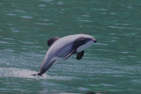 20 animales raros marinos en peligro de extinción - Delfín de Héctor