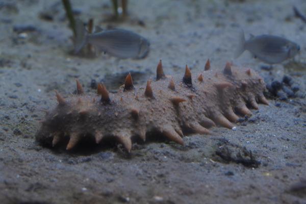 20 animales raros marinos en peligro de extinción - Pepino de mar japonés