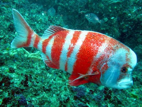 20 animales raros marinos en peligro de extinción - Sargo cabezón