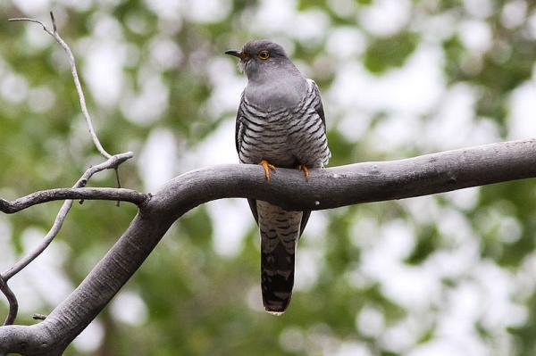 13 pájaros que cantan - Cuco común (Cuculus canorus)