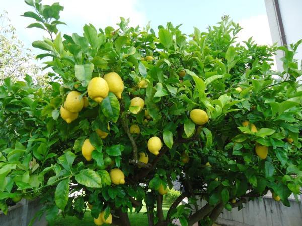 Tipos de limoneros - Eureka