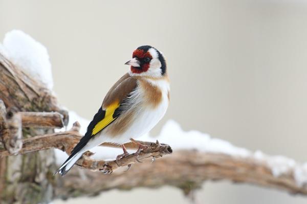 13 pájaros que cantan - Jilguero (Carduelis carduelis)