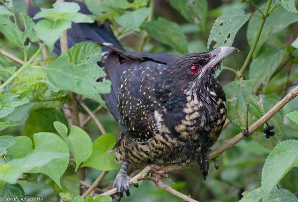 13 pájaros que cantan - Koel del Pacífico (Eudynamys orientalis)