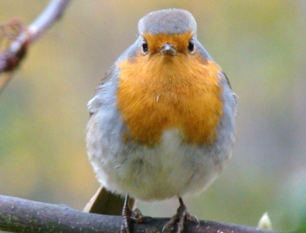 13 pájaros que cantan - Petirrojo europeo (Erithacus rubecula)