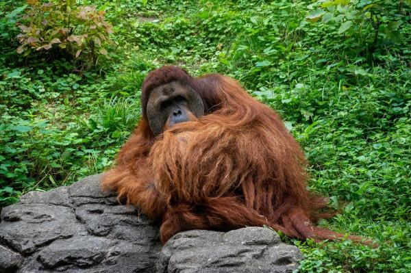 Por qué los orangutanes están en peligro de extinción