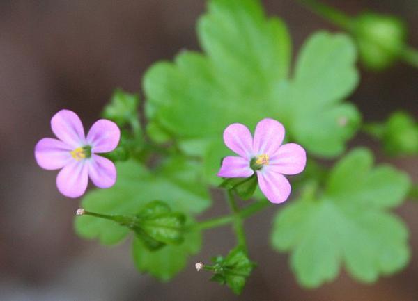 23 tipos de geranios - Geranium lucidum L.