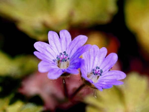 23 tipos de geranios - Geranium molle L.