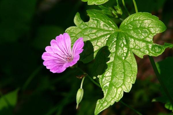23 tipos de geranios - Geranium nodosum L.