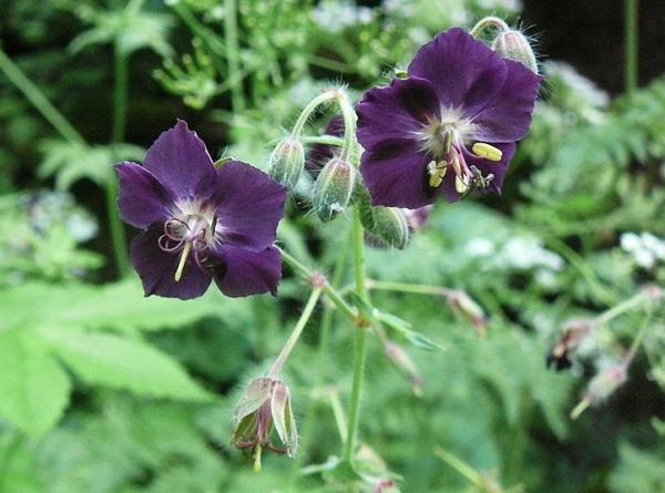 23 tipos de geranios - Geranium phaeum L., uno de los tipos de geranios con flores curiosas