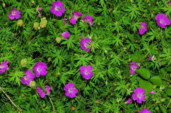 23 tipos de geranios - Geranium sanguineum L., uno de los tipos de geranio con flores llamativas