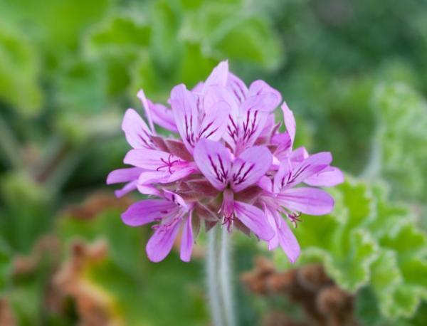 23 tipos de geranios - Pelargonium capitatum