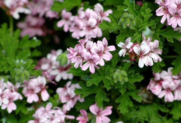 23 tipos de geranios - Pelargonium citrosum, un geranio antimosquitos y con buen olor