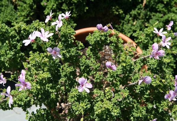 23 tipos de geranios - Pelargonium crispum