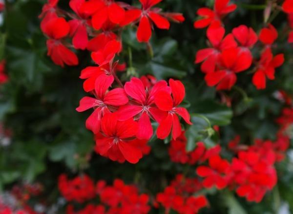 23 tipos de geranios - Pelargonium peltatum