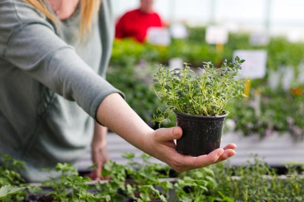 Cuidados del tomillo - Cómo cuidar una planta de tomillo - guía de cuidados
