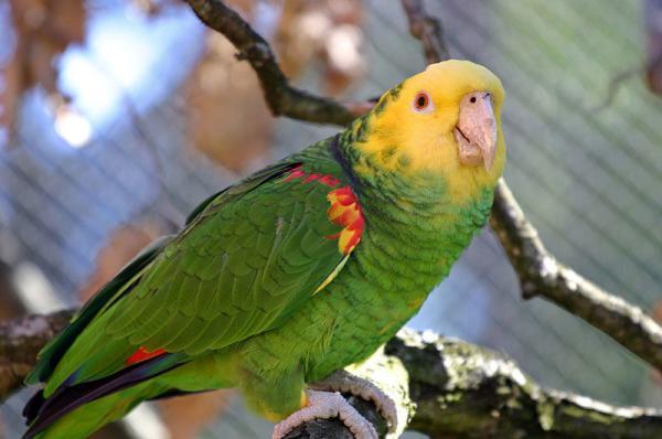 13 animales en peligro de extinción en México - Amazona o loro de cabeza amarilla