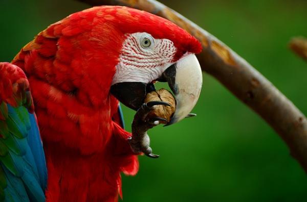13 animales en peligro de extinción en México - Guacamayo rojo