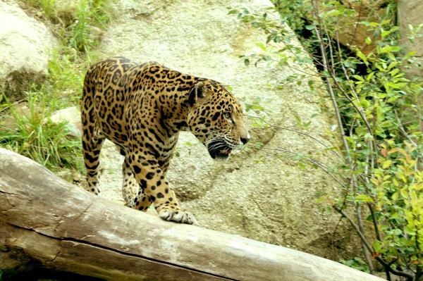 25 animales en peligro de extinción en México - Jaguar