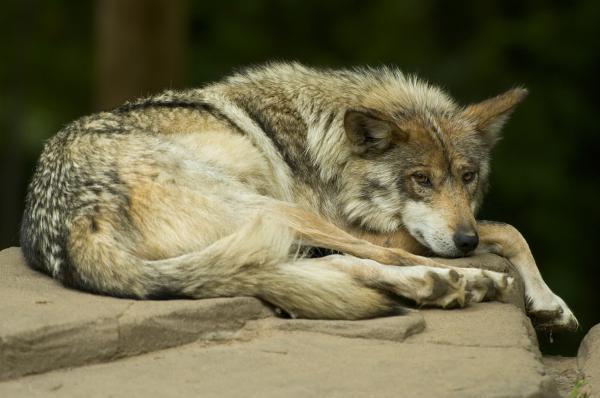 13 animales en peligro de extinción en México - Lobo gris mexicano