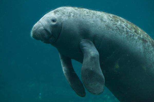 25 animales en peligro de extinción en México - Manatí de las Antillas