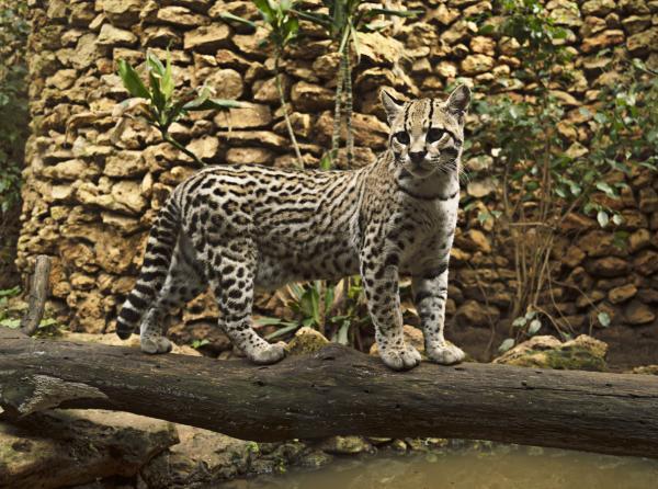 13 animales en peligro de extinción en México - Ocelote