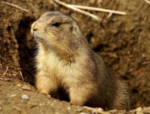 25 animales en peligro de extinción en México - Perrito de la pradera mexicano