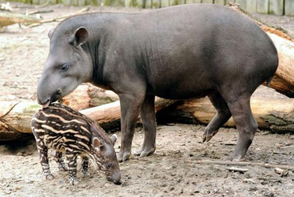 13 animales en peligro de extinción en México - Tapir centroamericano