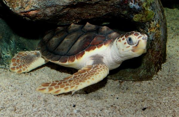 25 animales en peligro de extinción en México - Tortuga caguama o boba