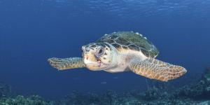 Por qué está en peligro de extinción la tortuga caguama