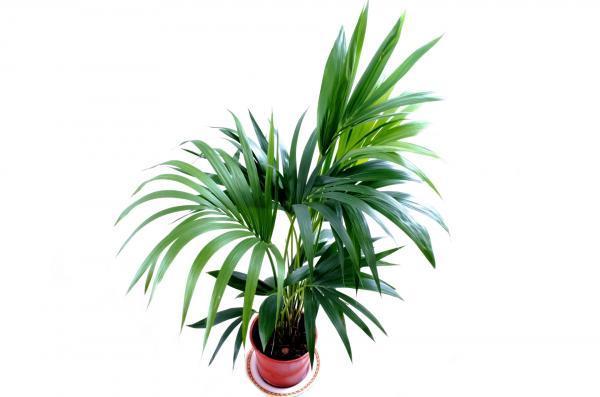 Palmera kentia: cuidados - Características de la planta kentia