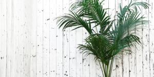 Palmera kentia: cuidados